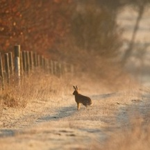hare in Nov 2