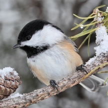 chickadee_in_winter