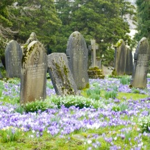 Old gravestones in a rural springtime churchyard with colourful crocuses blooming between the graves