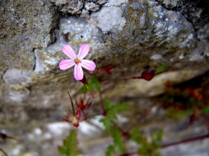 flower in a crannied wall